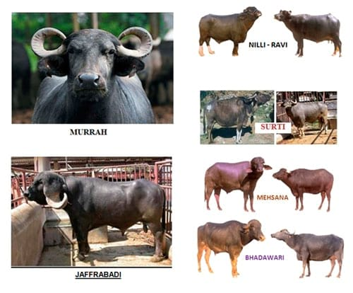 Buffalo Breeds In India Engormix