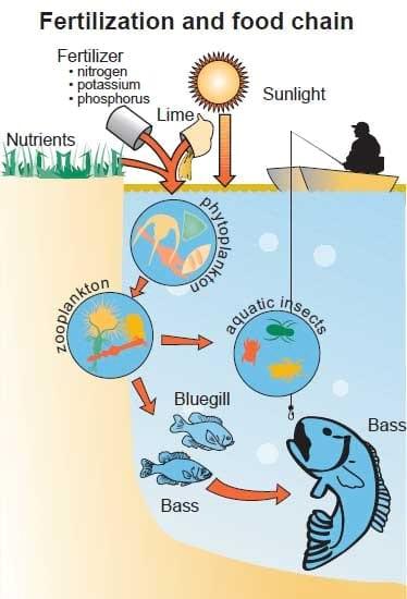 Bluegill sunfish production in missouri engormix for Fish pond fertilization