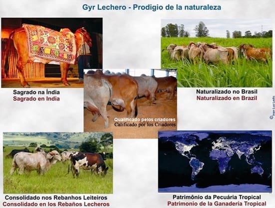 "Gyr Lechero Nicaragua ""el Gyr Lechero no es la"