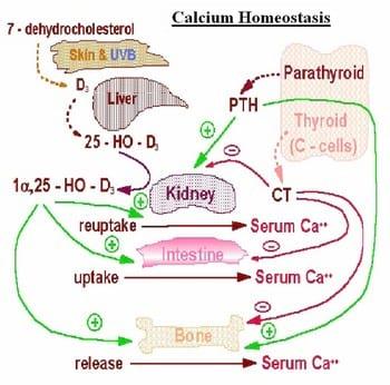 Fig 2 endocrine control of calcium homeostasis