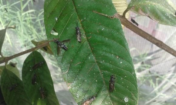 Black Soldier Fly -