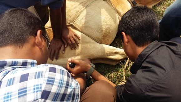 Castration of bull calves... - My activity