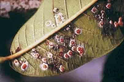 Los hongos entomopatógenos: Aliados del Agricultor