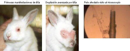 Pasteurelosis Del Conejo Sintomas