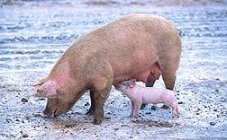 Produccion Porcina