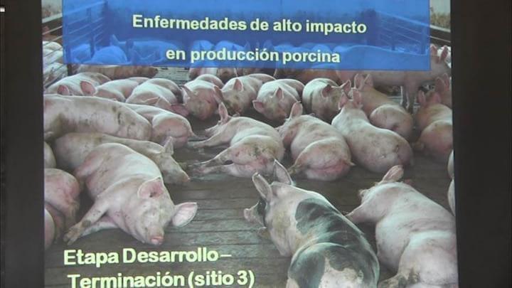 Enfermedades de alto impacto en producci�n porcina