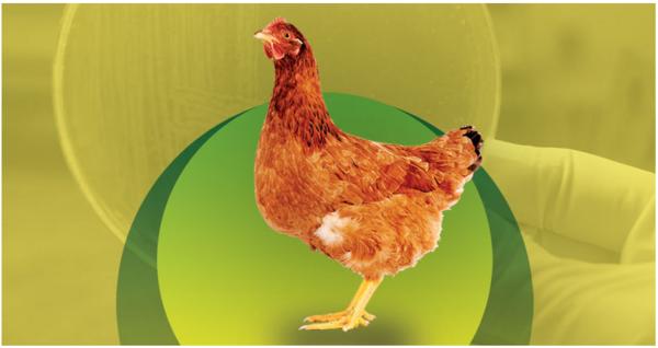 Tifoidea aviar: conozca más sobre esa enfermedad que puede ser devastadora para las granjas - Image 1