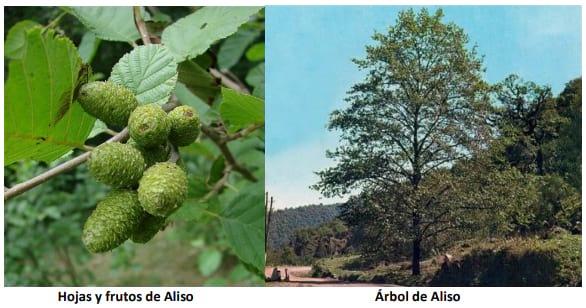 el arbol de aliso alnus jorullensis para protección ambiental en