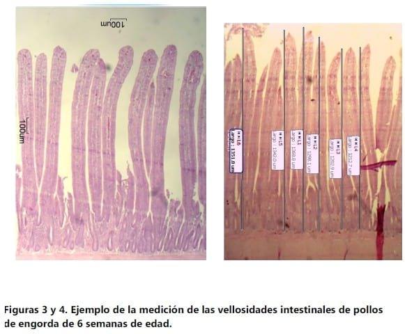 Longitud de las vellosidades intestinales y cantidad de clostridium ...
