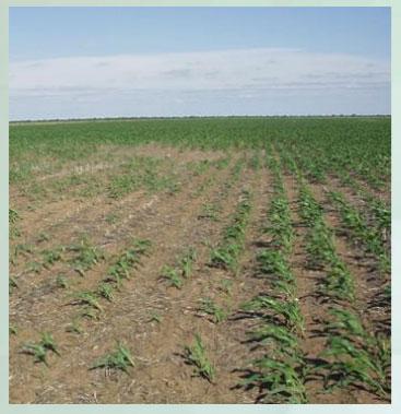 Manejo y control de orugas cortadoras. Estrategias para cultivos de verano - Image 9