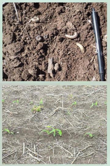 Manejo y control de orugas cortadoras. Estrategias para cultivos de verano - Image 7
