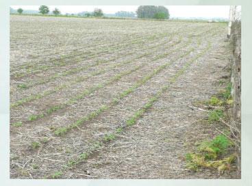Manejo y control de orugas cortadoras. Estrategias para cultivos de verano - Image 4