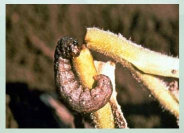 Manejo y control de orugas cortadoras. Estrategias para cultivos de verano - Image 5