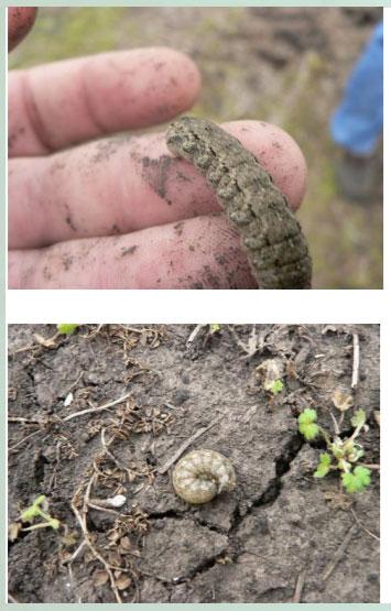 Manejo y control de orugas cortadoras. Estrategias para cultivos de verano - Image 8