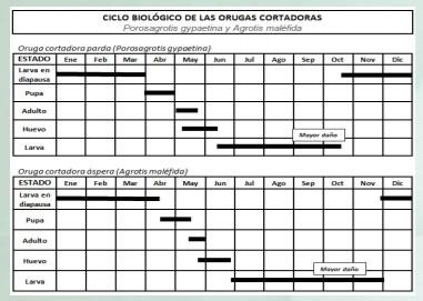 Manejo y control de orugas cortadoras. Estrategias para cultivos de verano - Image 3
