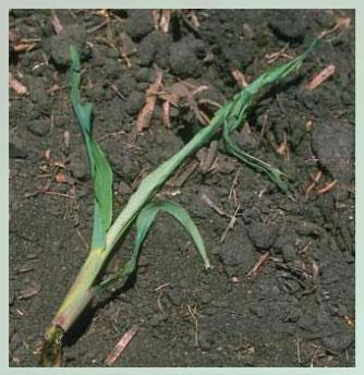 Manejo y control de orugas cortadoras. Estrategias para cultivos de verano - Image 6