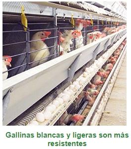 Tifoidea aviar: conozca más sobre esa enfermedad que puede ser devastadora para las granjas - Image 2