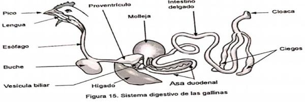 Anatomía del Pollo - Image 2