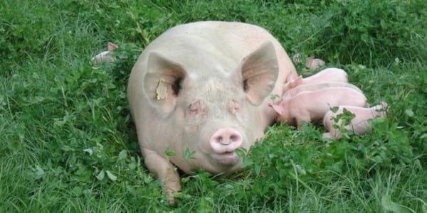 Razas Cerdos