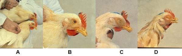 En medicamento ronquera para gallos la