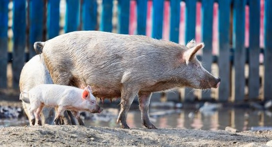 The OIE releases new guidelines on compartmentalisation for African swine fever (ASF) - Image 1