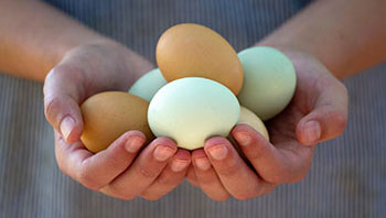 Food safety: Salmonella and Eggs - Image 2