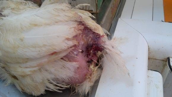 Picking - poultry diseases