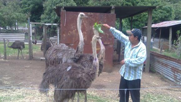 avestruces - especies para produccion animal