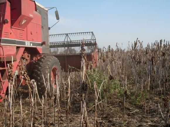 maquina cosechando - cosecha mecanica tartago