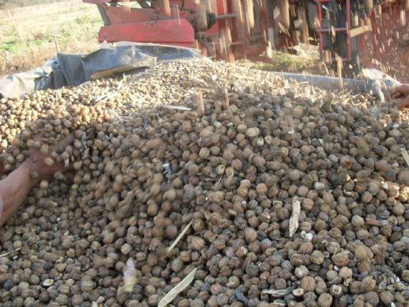 frutos, semillas con cascara cosechados con maquina - frutoas tartago