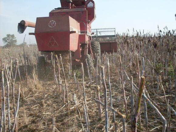 maquina cosechando en chaco taartago - cosecha mecanica tartago en chaco