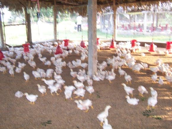 Low Cost Broiler Farm India   Photo 14558