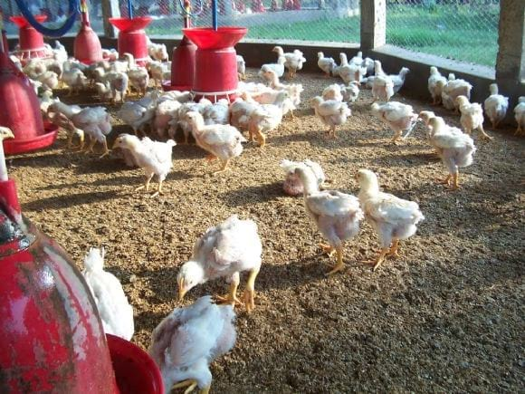 Low Cost Broiler Farm India - Low Cost Broiler Farm India