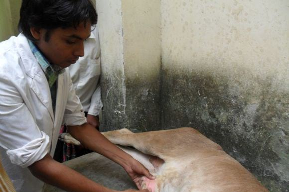 Hernia in calf -  operation of hernia of calf