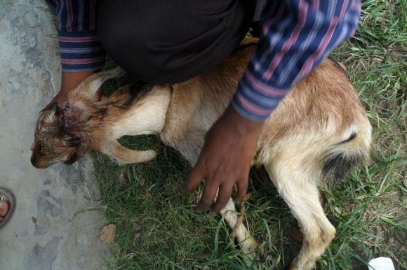 Post operative management - operation of goat at field level