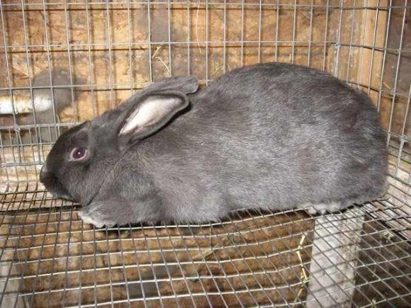 Raza de conejos - Americano - Razas de Conejos