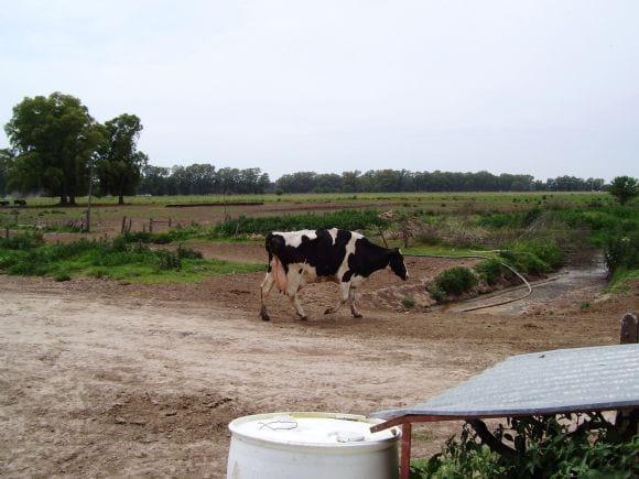 Desvase y taco ortopédico en bovinos - Seguimiento de vaca con taco