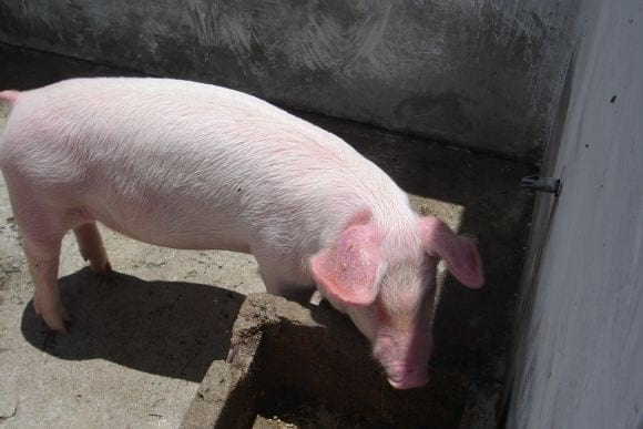 Cerdos de engorde alimentados únicamente con concentrado y pasto - Granja de la Asociacion la Salle, Huehuetenango