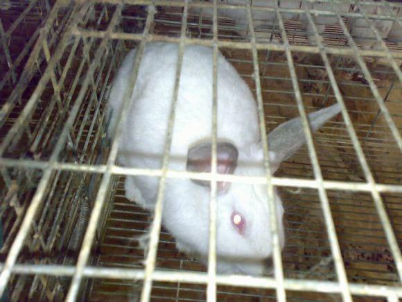 Rabbit production in Sohag Egypt - Rabbit production in Sohag Egypt