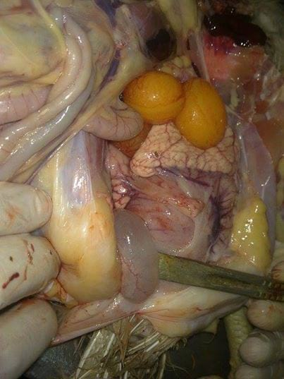 Cystic Right Oviduct - my work