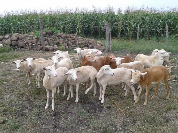 Módulo de ovinos - Microrregión de Atención Prioritaria (MAP) Angostillo