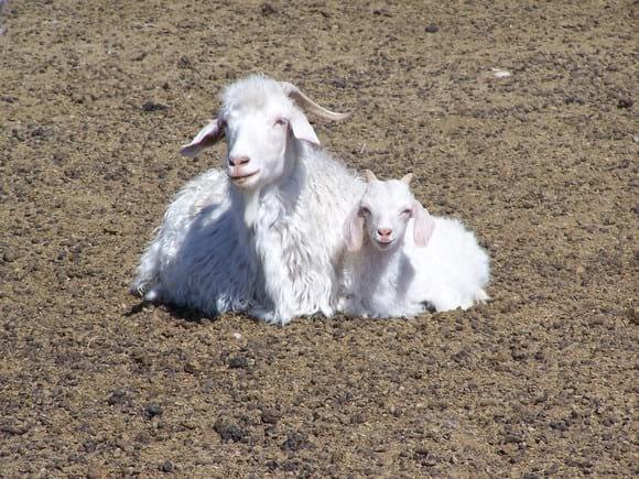 Angora Goat - Various