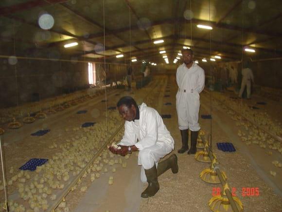 INSPECTING CHICKS PLACEMENT IN WAJID FARM - AL-WATANIA POULTRY SAUDI ARABIA