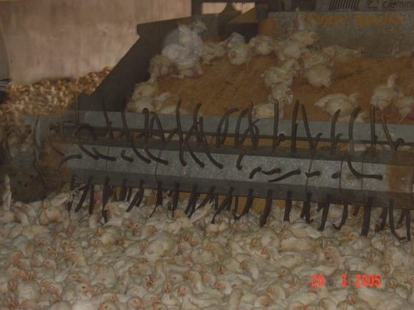 CATCHING BROILER CHICKENS FOR ABATTOIR - AL-WATANIA POULTRY SAUDI ARABIA