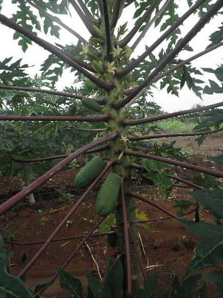 papaya morena - expo sinaloa