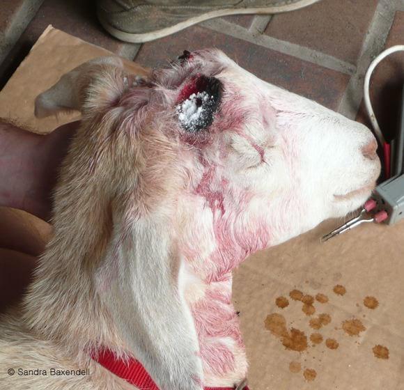 antibiotic powder added - Dehorning goats