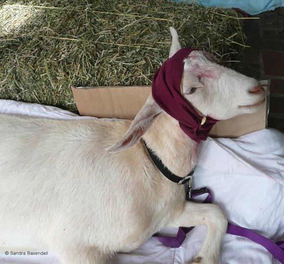 bandaged recovering goat - Dehorning goats