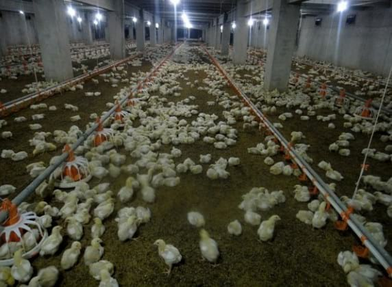 1. Broiler chicks, 11-day-old, with heavy mortality - Newcastle- Gumboro