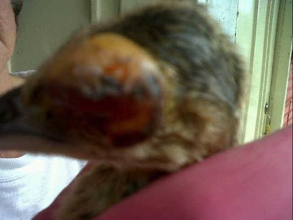 Viruela aviar antes de tratamiento Homeopático - Casos Clínicos