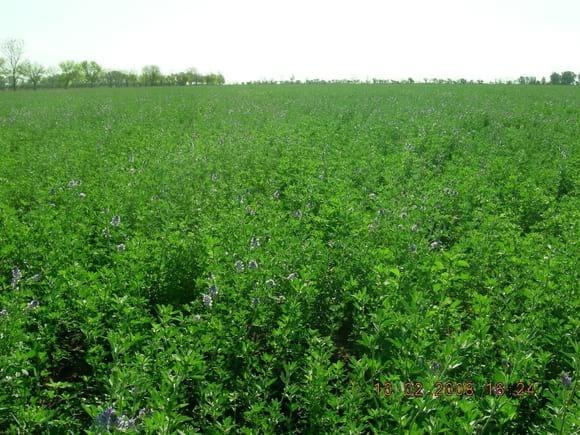 Alfalfa en suelo tratado - Suelos